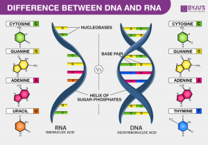 Difference-Between-DNA-and-RNA